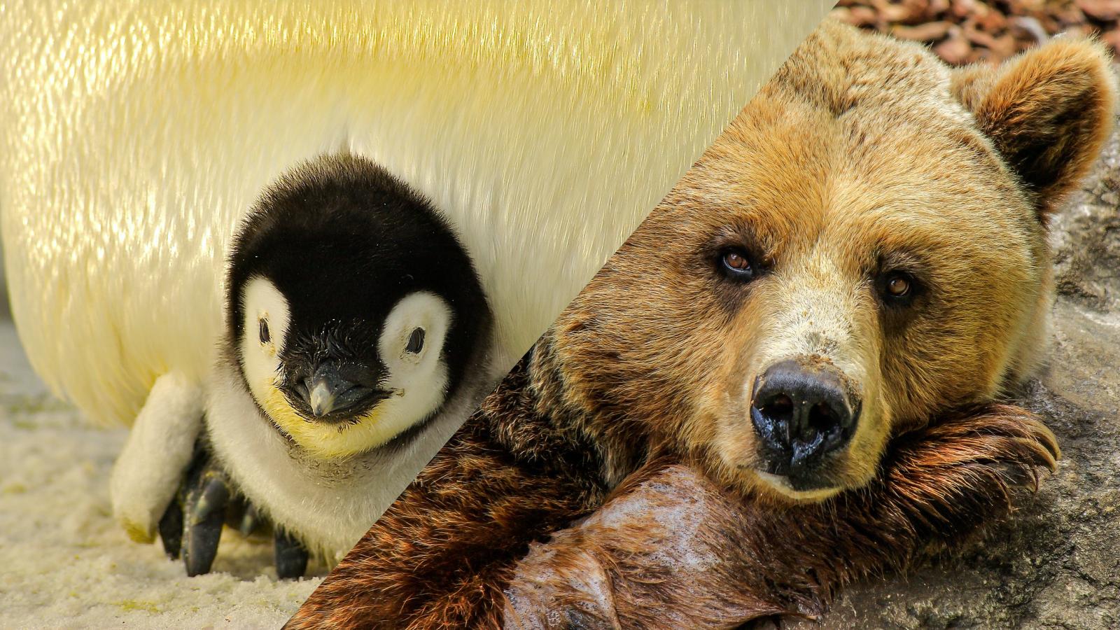 Manchot Empereur et ours pratiquent le jeûne à certaines phases de leur existence.