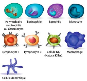 Quelques exemples de leucocytes