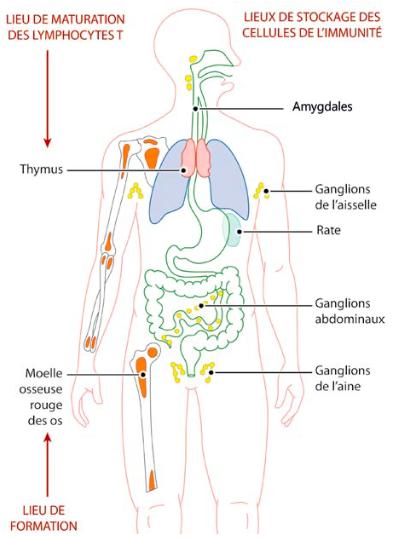 Les principaux organes de notre système immunitaire